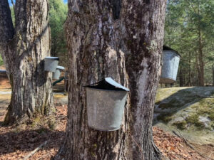 Gratitude for the gift of the maple trees